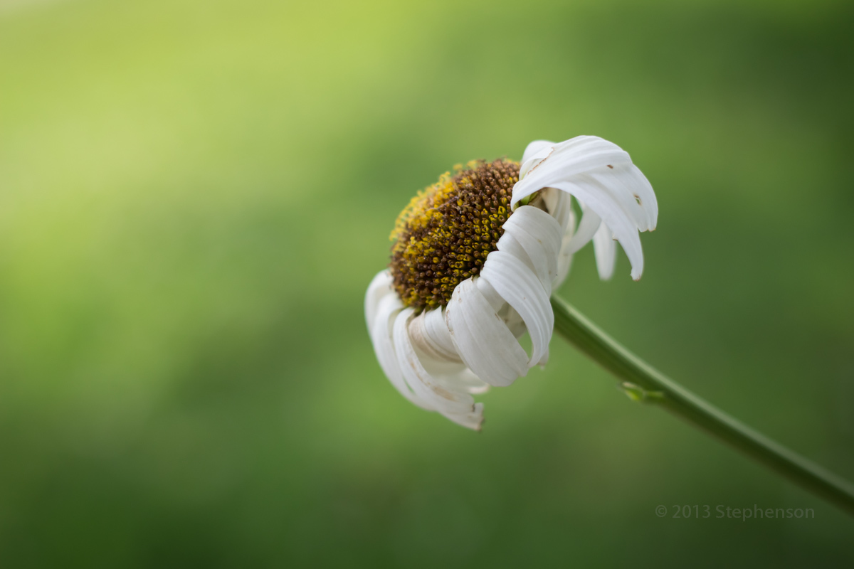fading daisy.jpg