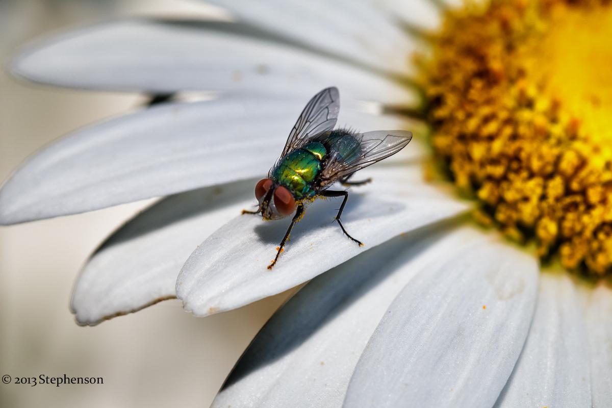 green fly daisy macro.jpg