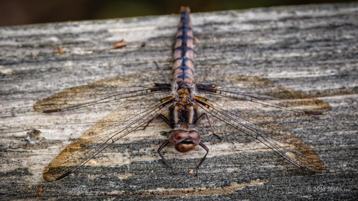 Dragonfly red 4.jpg