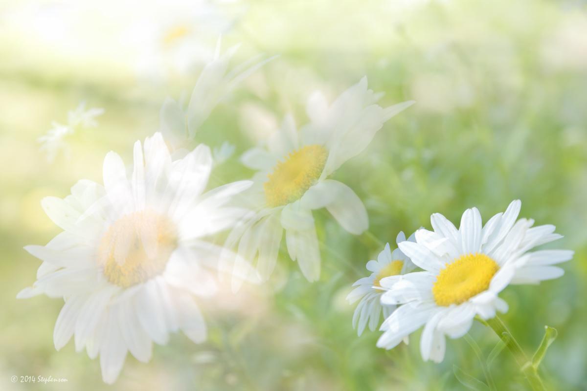 Daisy Multiplicity.jpg