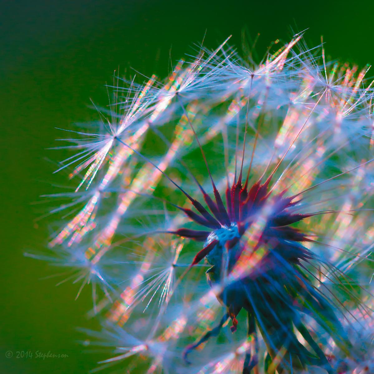 Dandelion-2.jpg