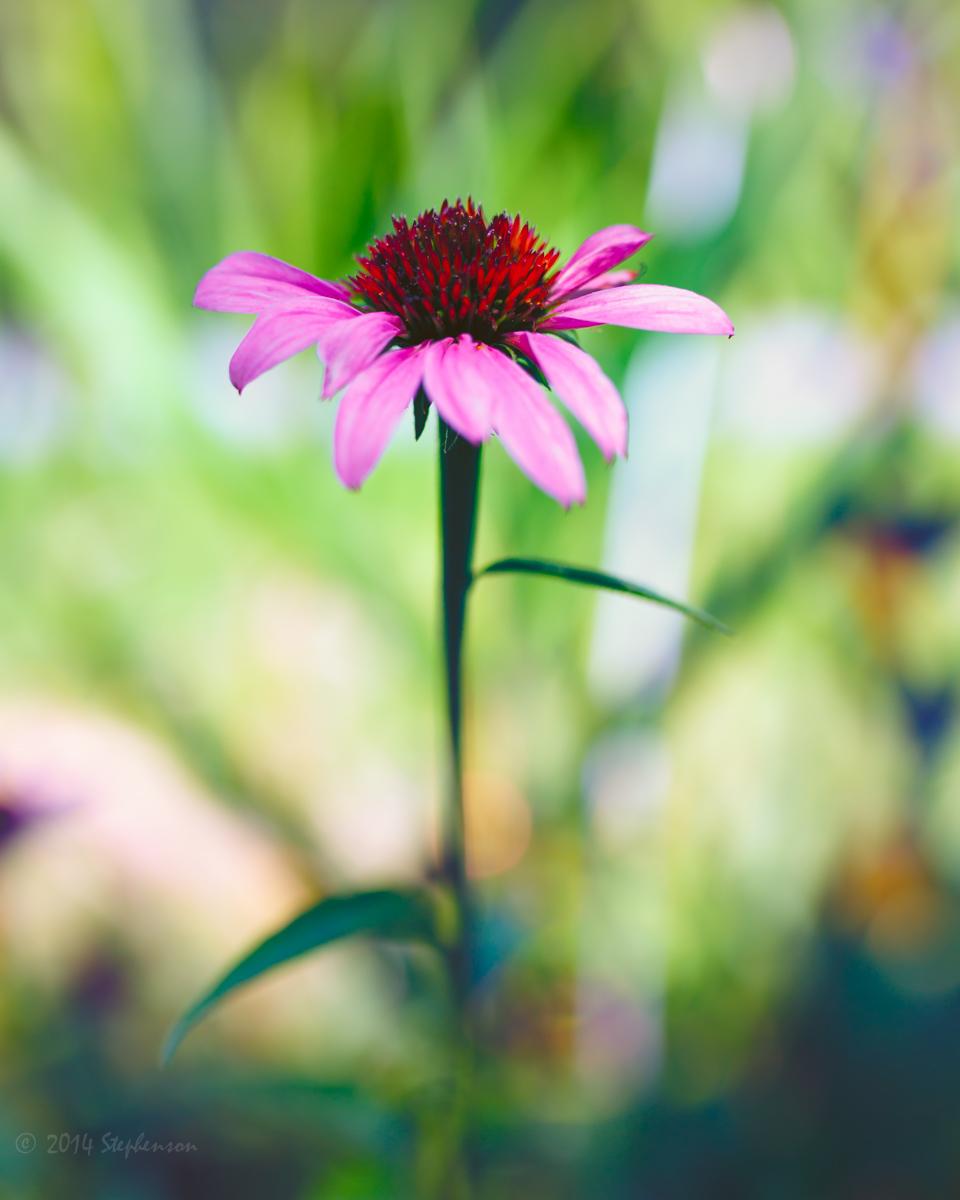 Echinacea 2.jpg