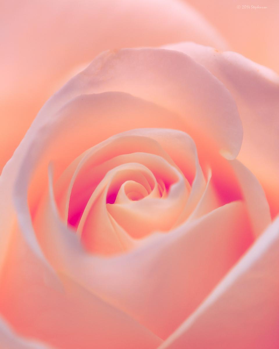 Karen's Rose.jpg