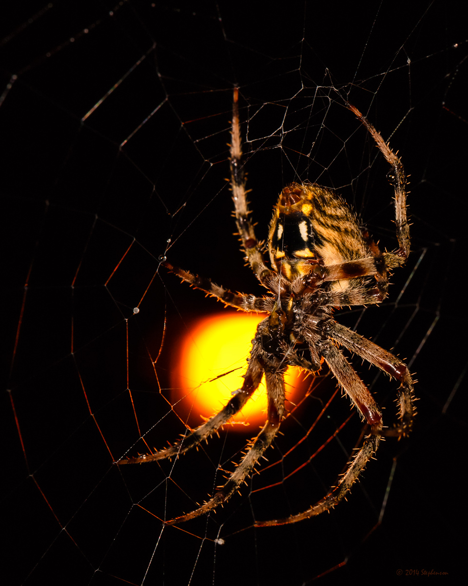 My Arachnid Friend is Back, Porch Spider made a new web. I photographed the spider using the street light to back light it.
