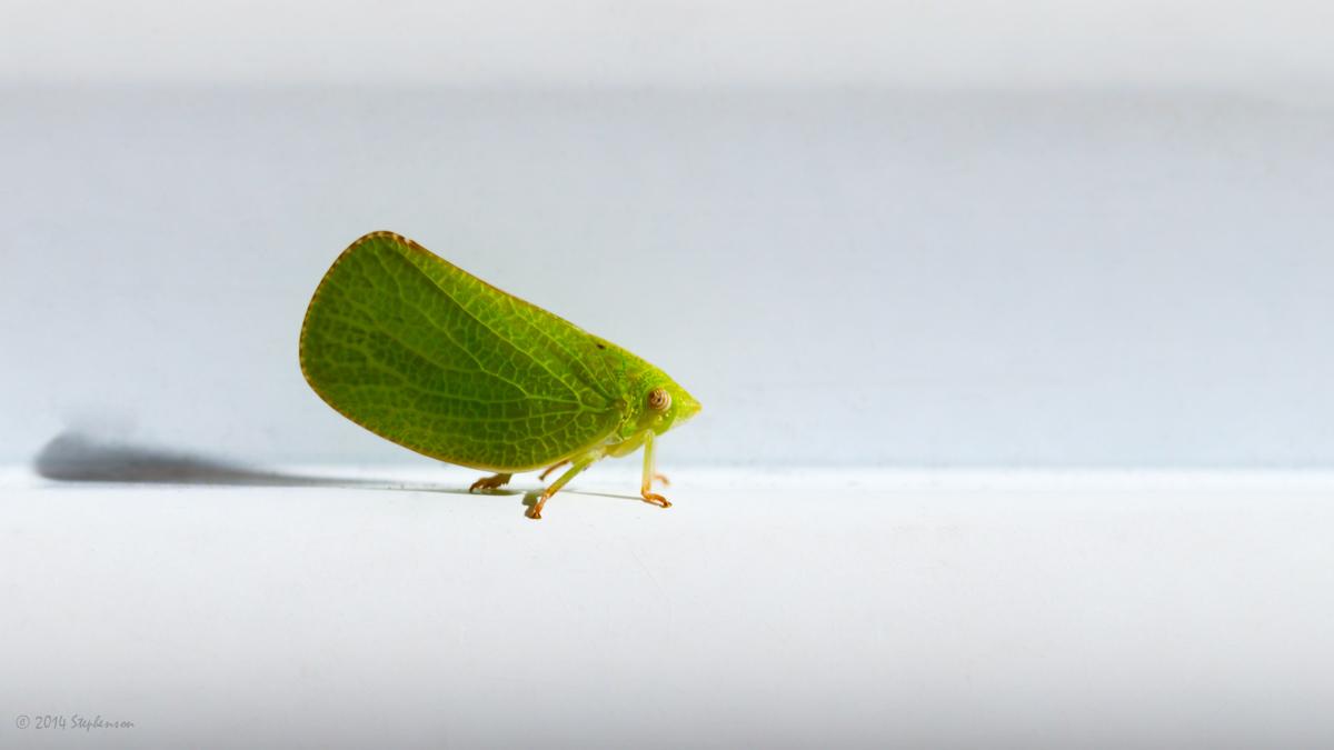 Leaf Hopper.jpg