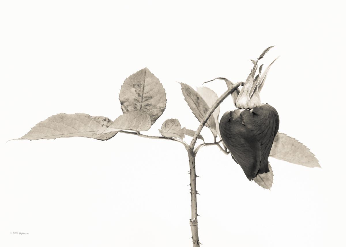 Broken Rose Monochrome