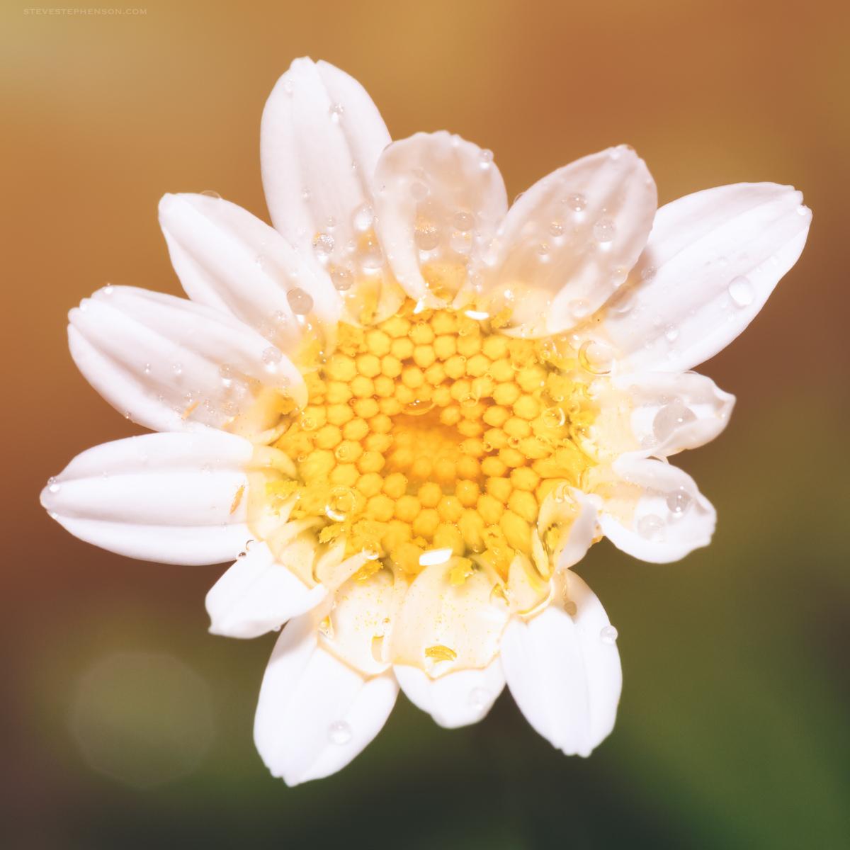 Golden Light Daisy