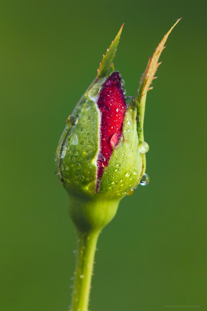 Tiny Rose Bud