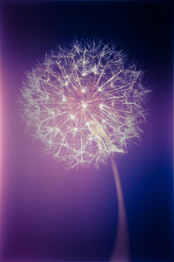 Purple light dandelion