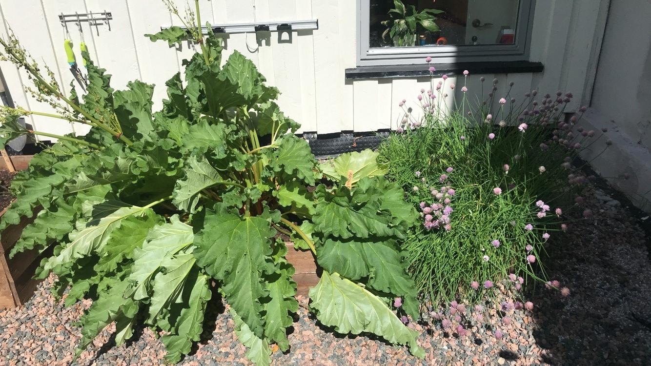Rabarbra og gressløk.jpg