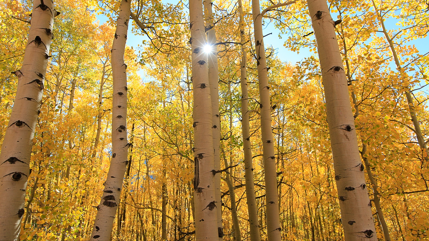 Light up gold.  The aspens were at peak around Silverton .. spectacular.
