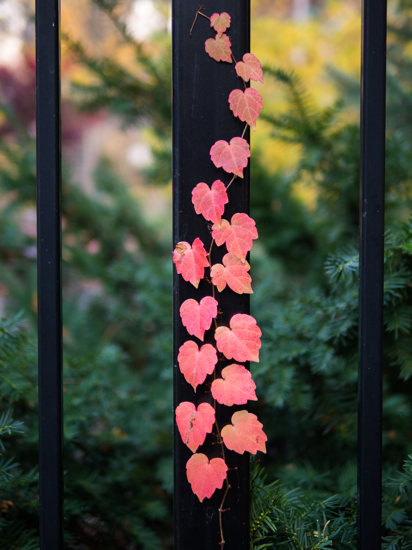 Climbing Hearts Vine