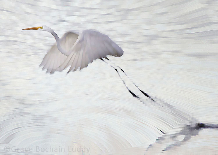 "This is an egret on Great Salt Pond this past September.  I used ""paint daubs"" and ""spherize"" in Photoshop to alter this image."