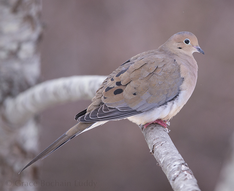 This is one of my favorite birds... a Mourning Dove, also called a Rain Dove.
