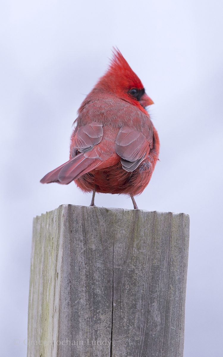 I took scores of pictures, waiting for this cardinal to fly.