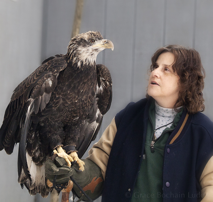 This is a two-year old Bald Eagle.  In a year or so, he'll have his characteristic white head.  His brown eyes will turn  the color of cream and eventually to gold.