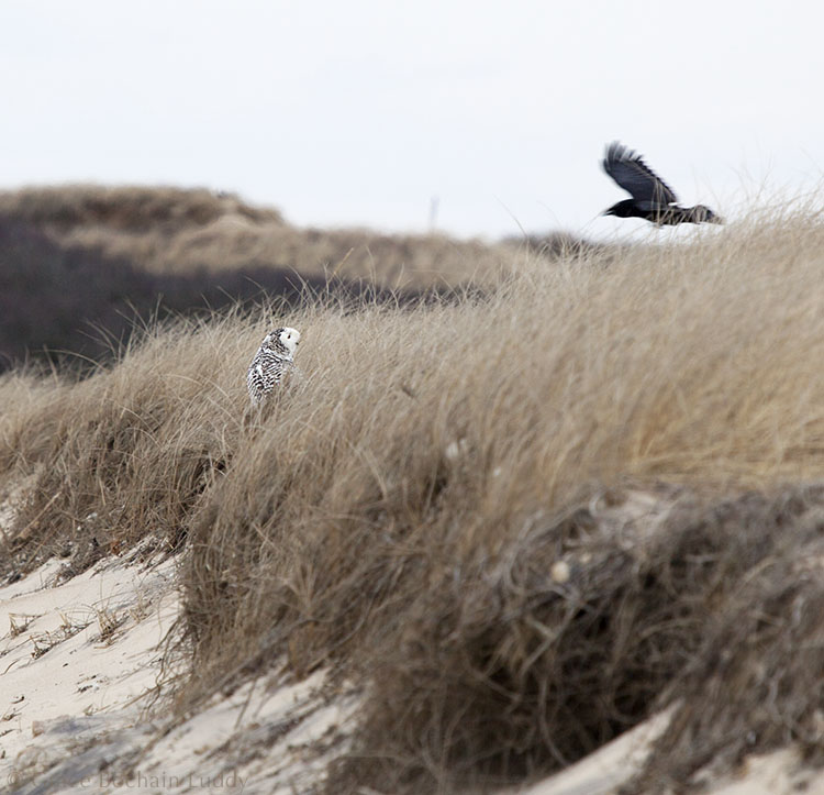 The snowy owl turning her head to look at a crow.