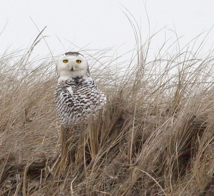 The snowy owl staying and staying.