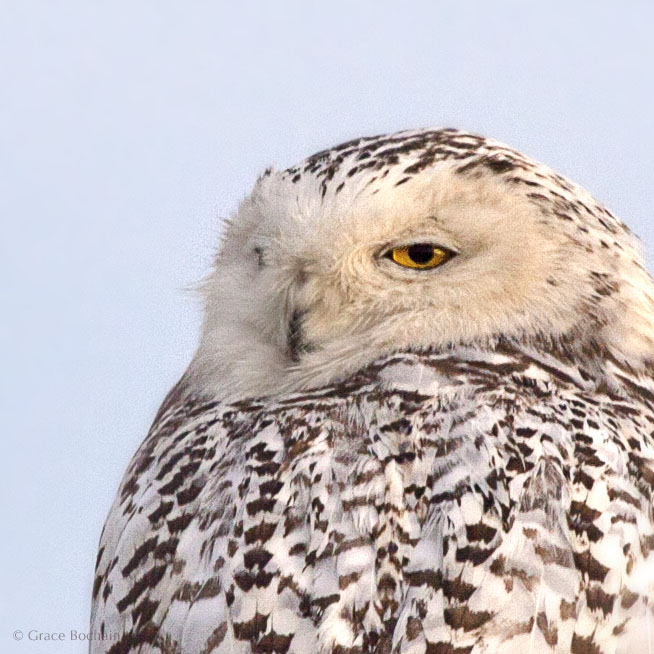 A fortuitous welcome from a snowy owl.  I happened to find him, the first morning home.