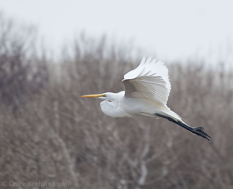 Same egret.  Different light.