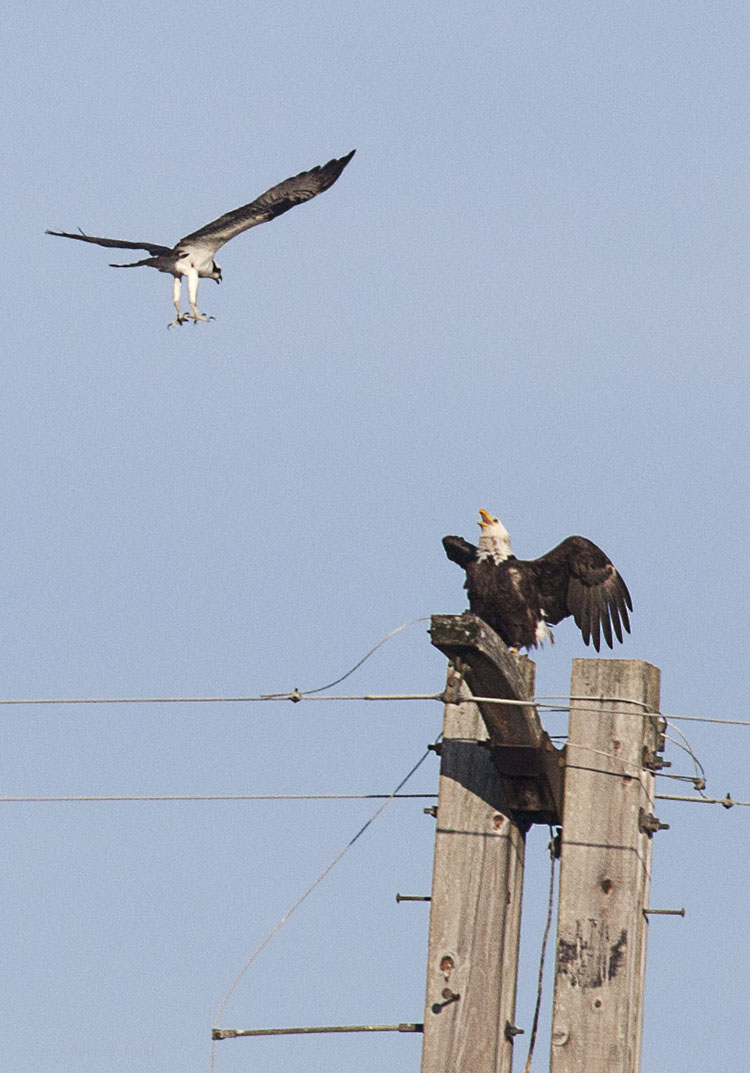 Eagle defending his perch.  The eagle held its place, even though the osprey came several times.