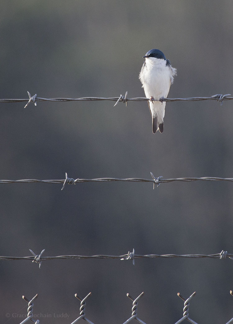 A front view of a tree swallow.