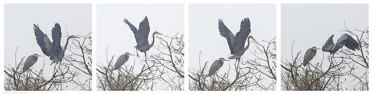 This blue heron began to fly and then came back down, which is very unusual behavior.  Look at the second picture.  I wonder if his foot might have been stuck.