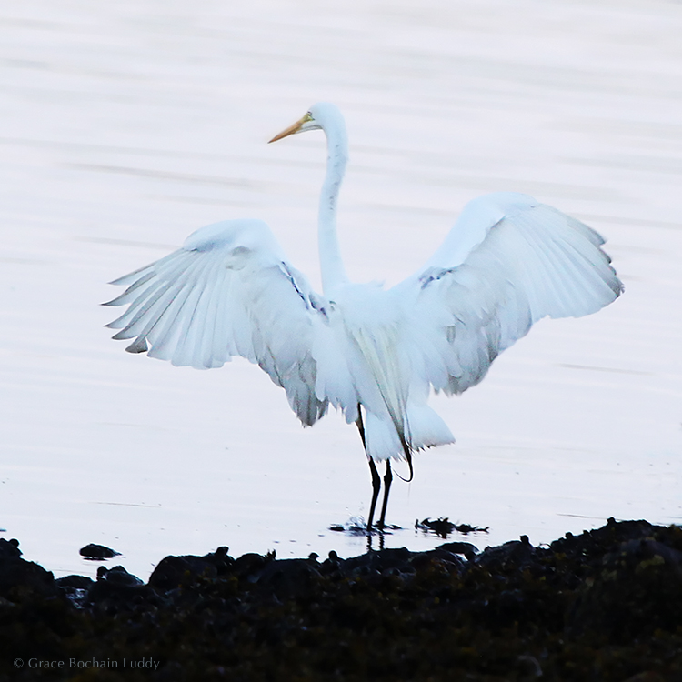 I used to go around with my hair on fire as if I was always in a life or death situation.  Well animals are in a life or death situation and they rest whenever they can.  (Great White Egret on Great Salt Pond.)