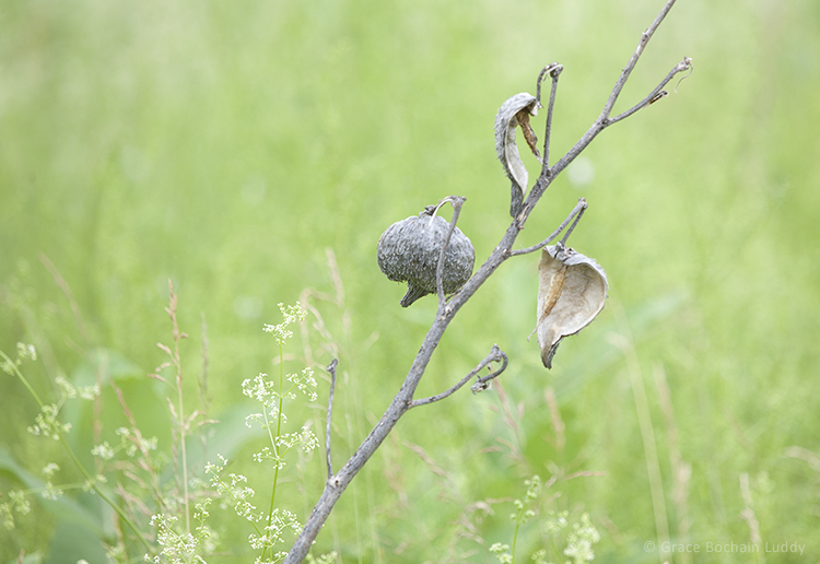Here are last year's milkweed pods with the new grasses of early summer.