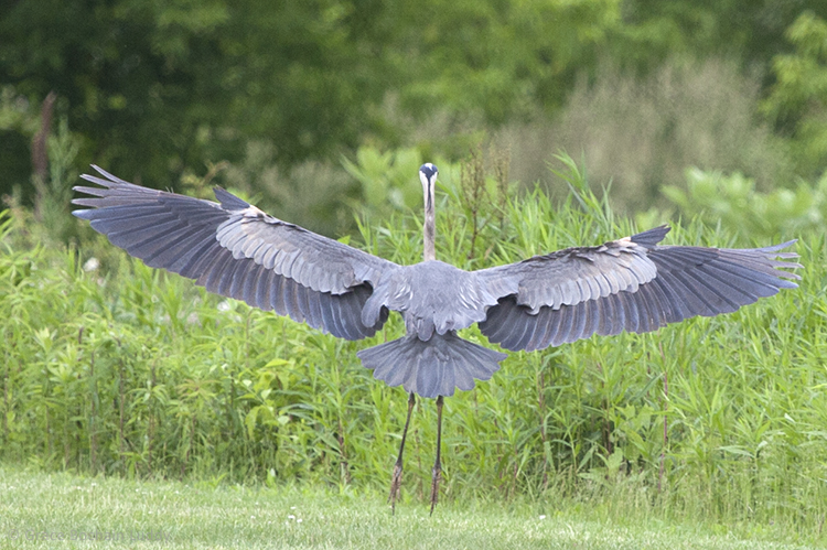 I've been waiting to get a picture of a blue heron, wings outstretched and feet pointing down, and in full display of all her wonderful feathers, just before she lands.