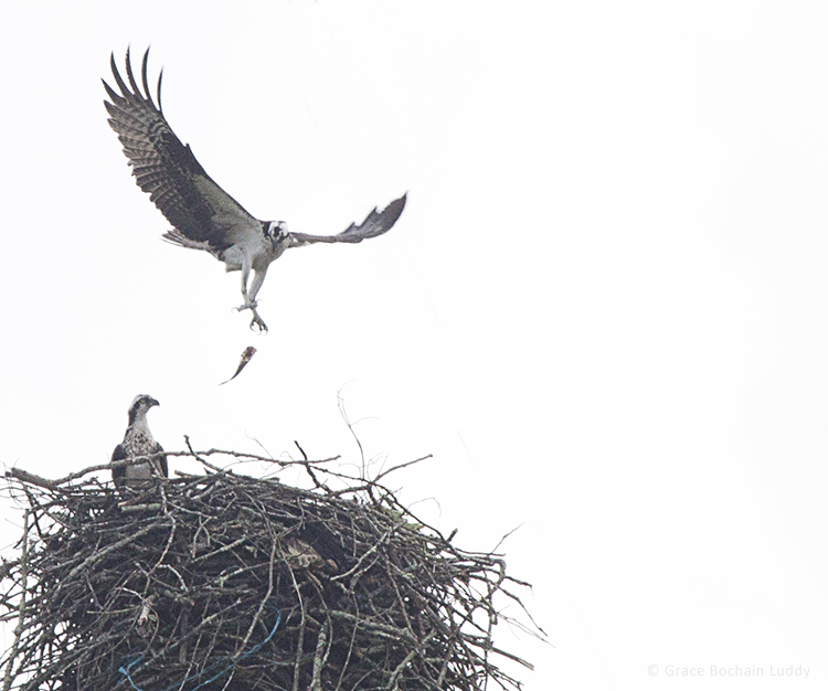 I've been watching this nest whenever I come to Moosup, because I thought it might be an eagle's next.  But it's for osprey.  Here is one osprey, dropping a fish into the nest.  It's way up on a pole for high tension wires.