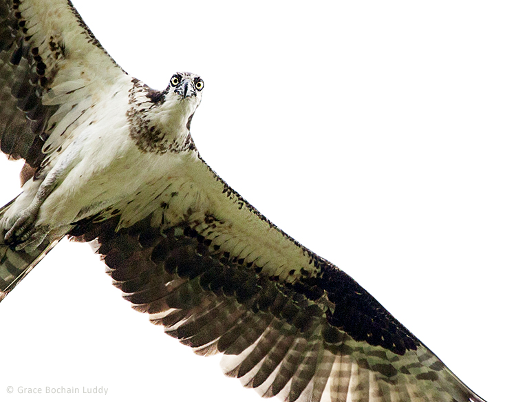 This is how the osprey feels about us coming this close to the nest.