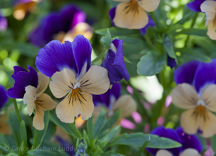 Here is a close-up of the pansies in the container to the right of the back door