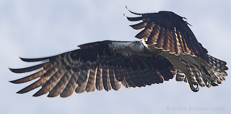 This is an osprey observing me through her feathers, and me observing her, upon my return to Block Island.