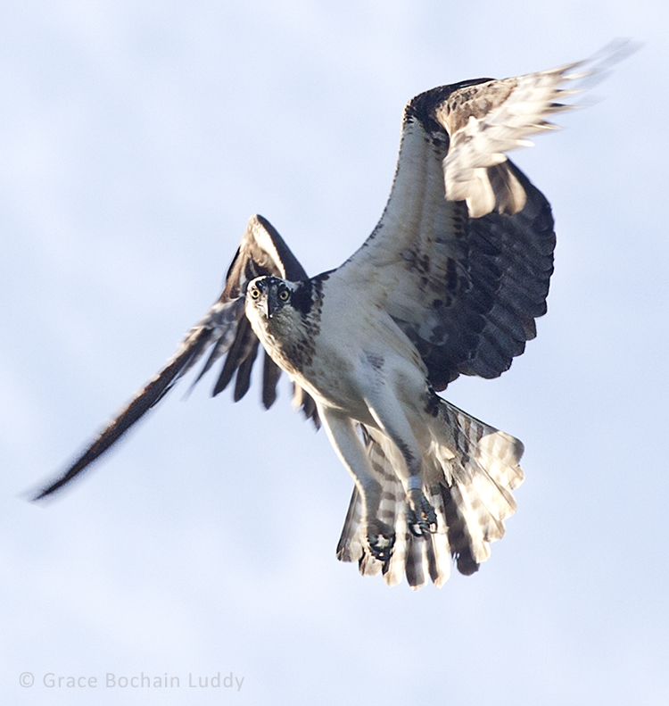 This is the same osprey as before, circling her nest, watching me every minute. My shutter speed was 1/500th of a second. My aperture was f/9. My ISO was 500. My focal length was 400 mm. This is an example of science. I know the bird doesn't like me and wants me to go away. This is an example of insight.