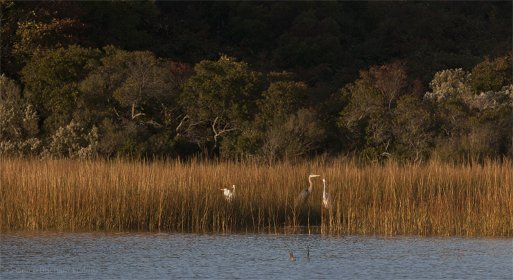 Here are three egrets at the edge of Great Salt Pond.  See the Great Blue Heron?  He's a newcomer I think.  I haven't seen him all summer.  Blue Heron are exactly the same birds as the Egrets, except for their color.