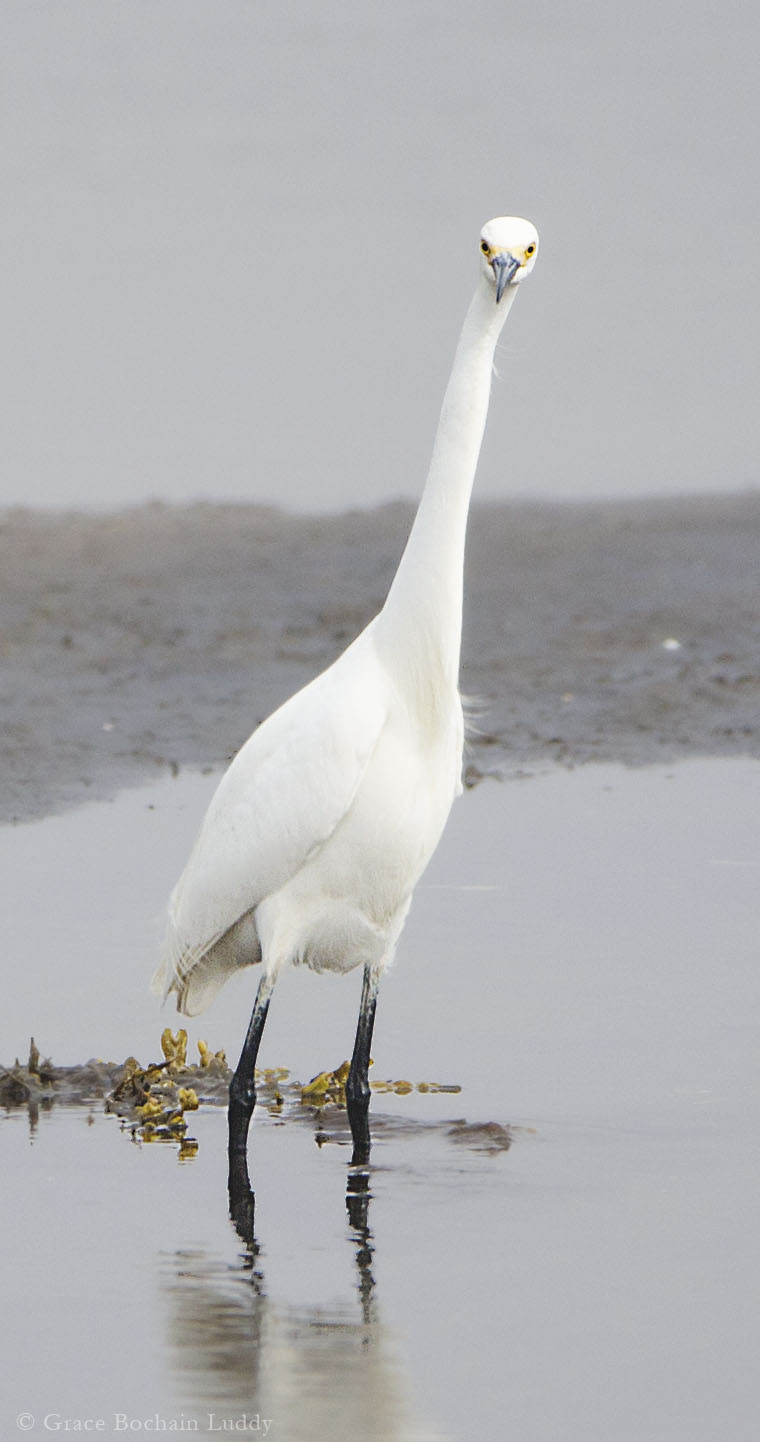 "This was taken near Beach Road, when the fog had cleared a little.  This small egret is there all the time and is used to people.  But he saw me with the lens and his head snapped up so fast, like, ""Who are you and what is that thing you are pointing?!"""