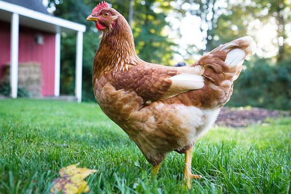 chickens-04.jpg