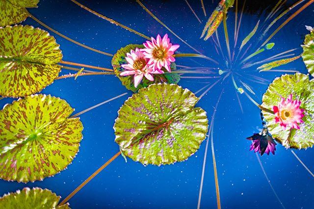 Parallel universe.  #lotusflower #water #meditation #stoicism