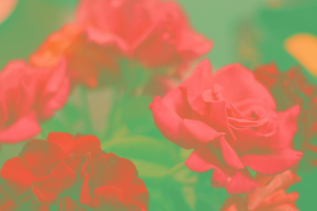 sadie rose casey roses