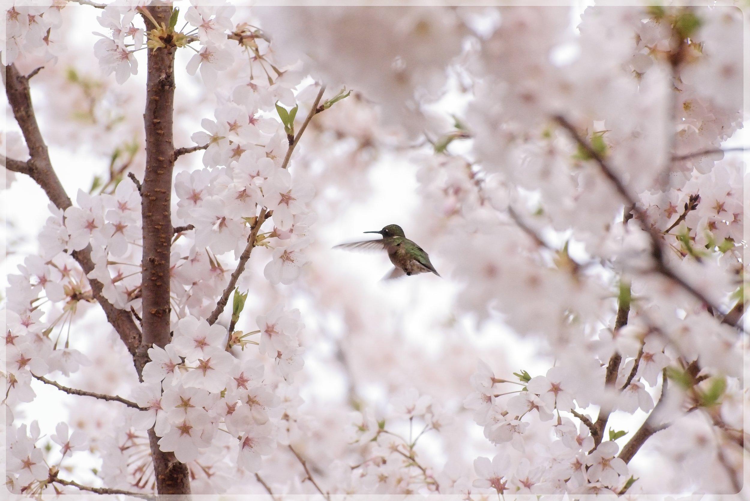 Cherry Blossom Hummingbird751_2957.jpg