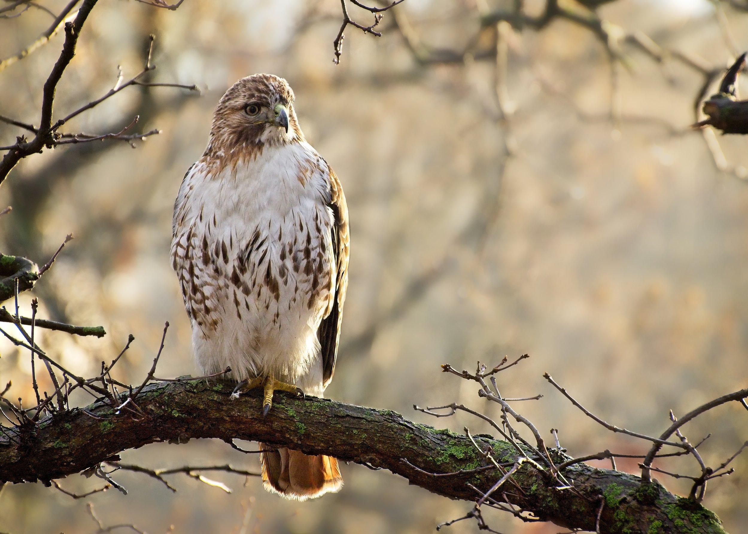 Hawk On1 7K5_3936.jpg