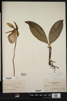 Herbarium record of the common New England orchid,Pink lady's-slipper(Cypripedium acaule).