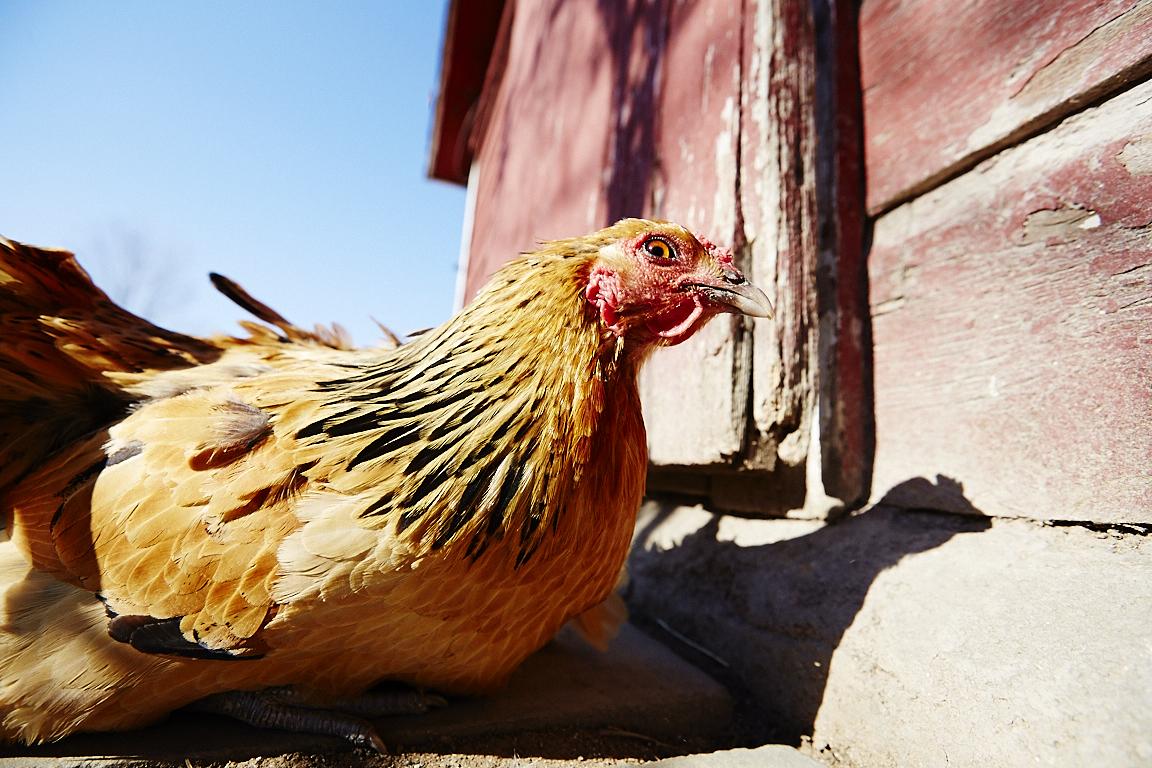 A skeptical hen