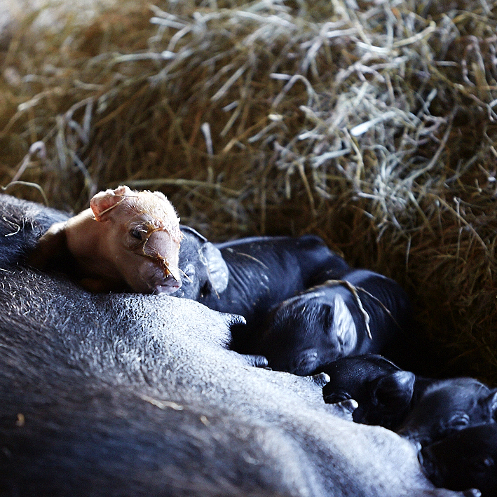 The creation of piglet life, thanks Kinderhook Farm for inviting us to this special moment!