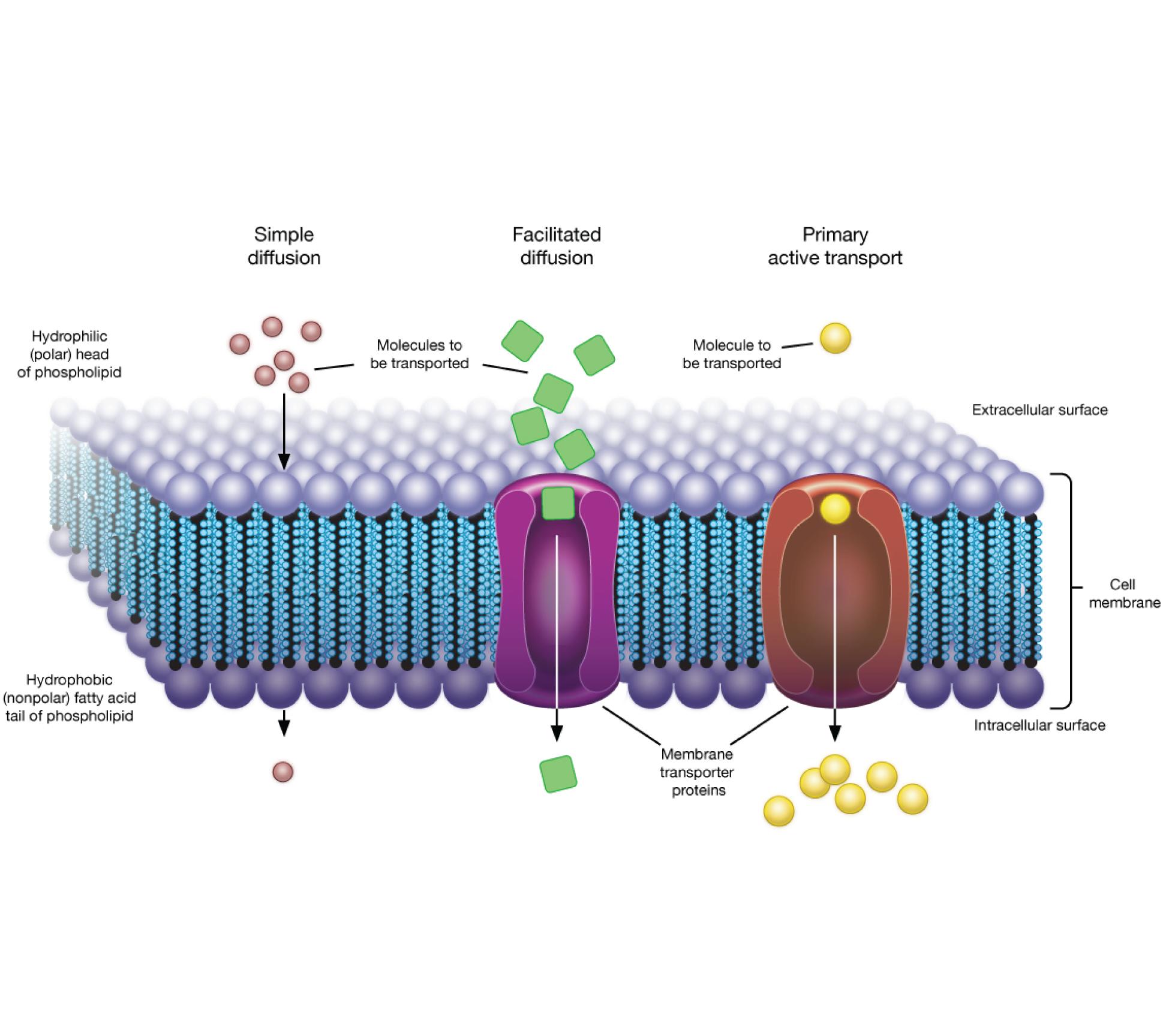 Etsi_Bio02_Cell03.png