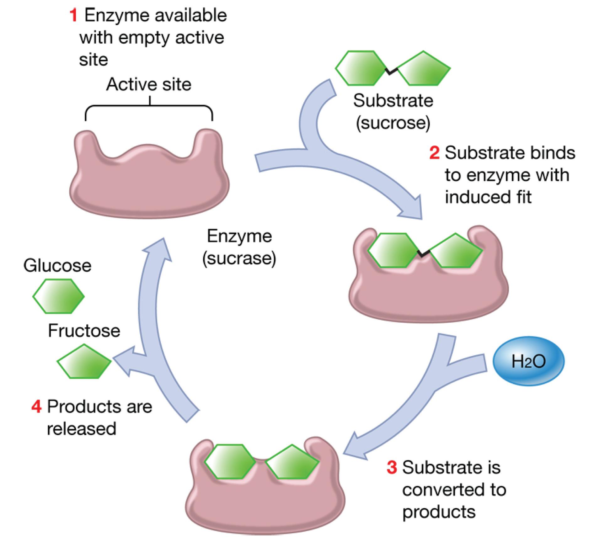 Etsi_Bio02_Cell05.png
