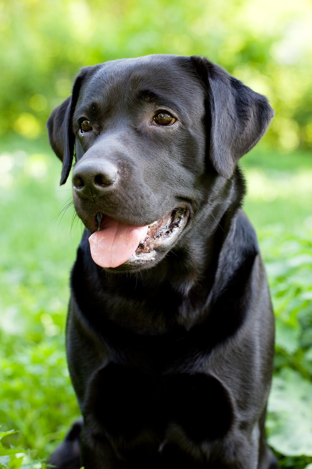 trianglevrh-triangle-veterinary-referral-hospital-tvrh-Black-Labrador-Retriever-.jpg