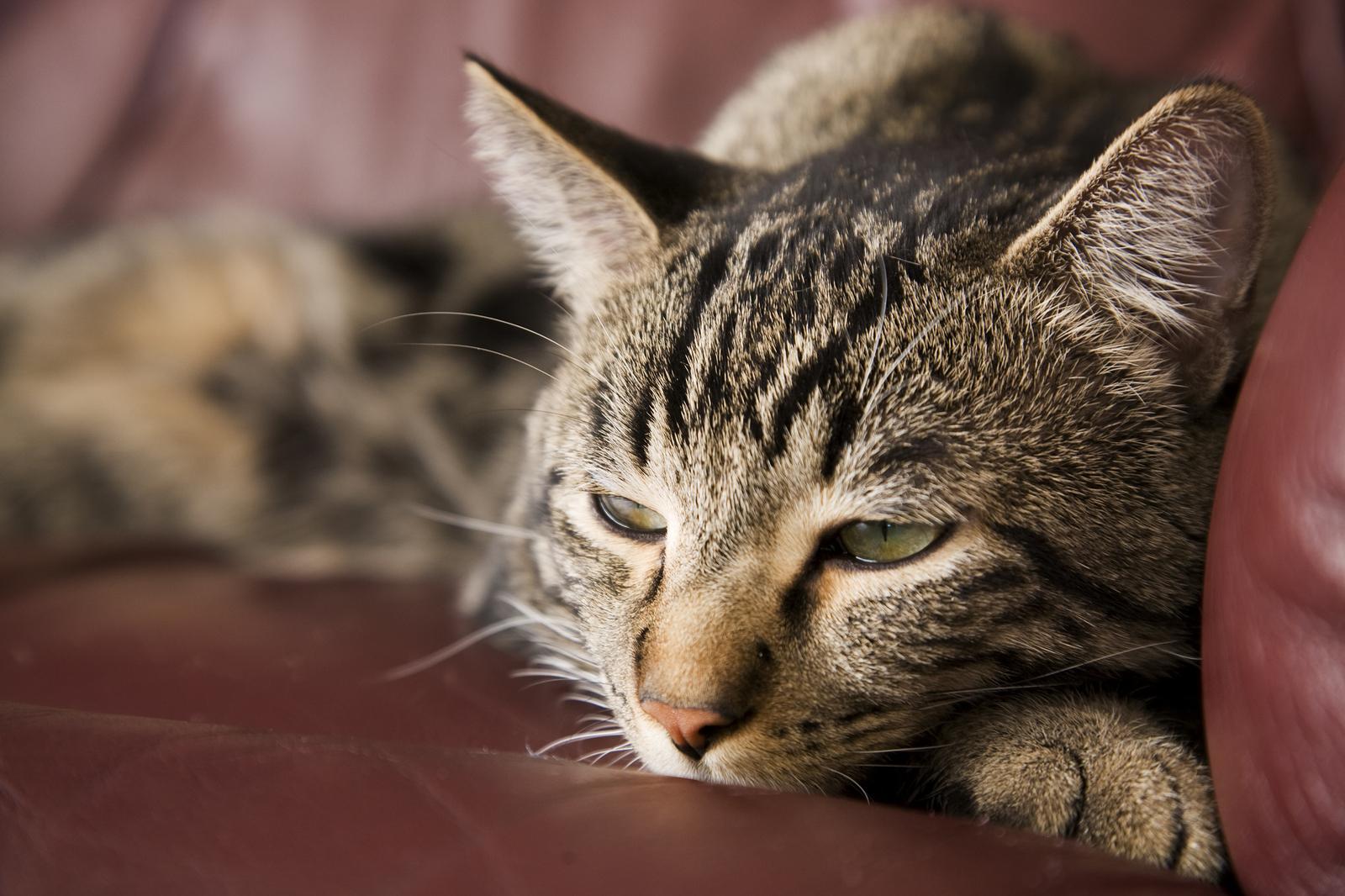 trianglevrh-triangle-veterinary-referral-hospital-tvrh-Lazy-Cat.jpg