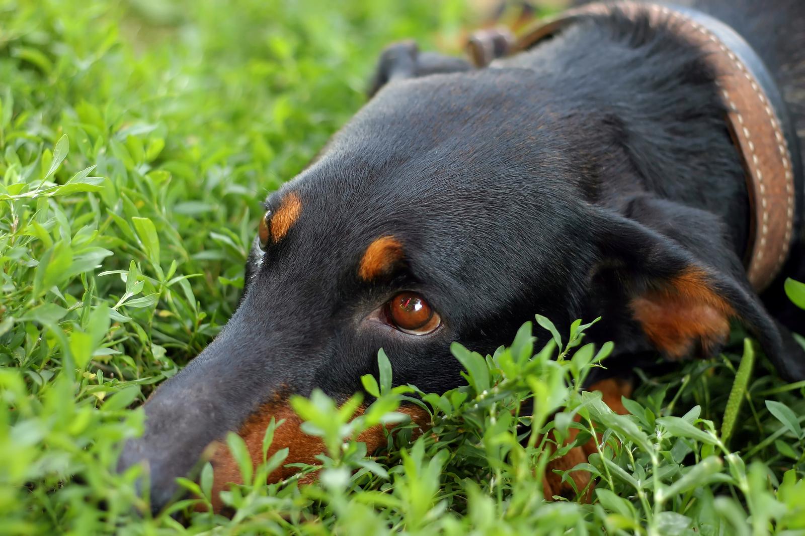 tvrh triangle veterinary referral hospital trianglevrh bigstock-dog-gaze-26266277.jpg